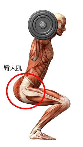臀大肌示意圖